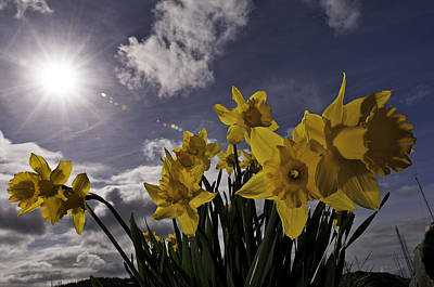 Puget Sound Photograph - Daffodils At Squalicum Harbor In Bellingham by Paul Conrad