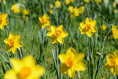 Photograph - Daffodils by Brandon Bourdages