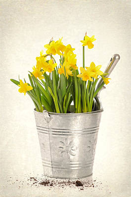 Sprout Photograph - Daffodils by Amanda And Christopher Elwell