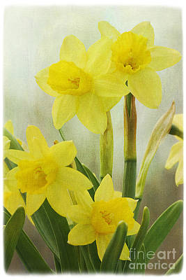 Spring Bulbs Photograph - Daffodils by Cindi Ressler