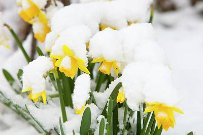 Garden Flowers Photograph - Daffodils Covered In Snow by Ashley Cooper