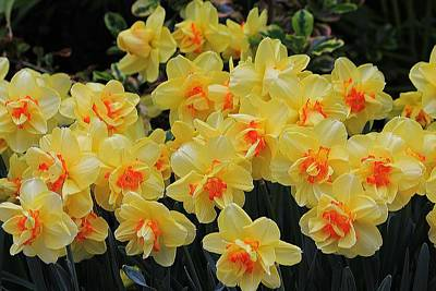 Photograph - Daffodils Crowded by Michael Saunders
