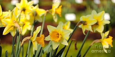 Photograph - Daffodils  by David Warrington
