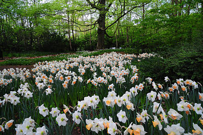 Photograph - Daffodils Display. Keukenhof Botanical Garden. Netherlands by Jenny Rainbow