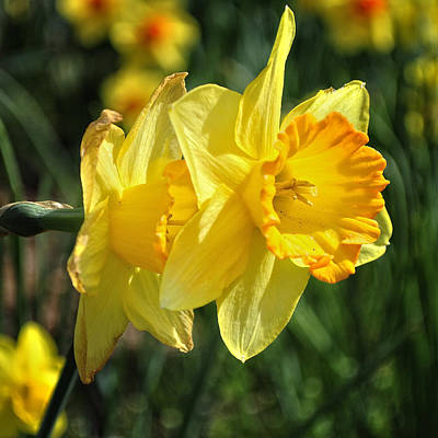 Photograph - Daffodils by George Taylor