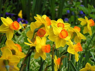 Photograph - Daffodils by George Tuffy