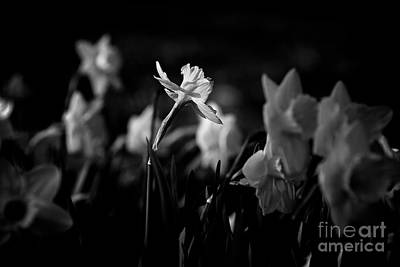 Frank J Casella Royalty-Free and Rights-Managed Images - Daffodils in Black and White by Frank J Casella