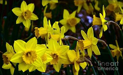 Photograph - Daffodils In Motion by Julia Hassett