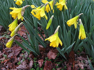 Photograph - Daffodils In The Rain  by Nancy Patterson