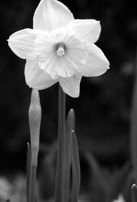 Photograph - Daffodils - Infrared 05 by Pamela Critchlow