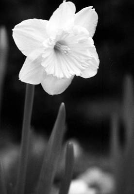 Photograph - Daffodils - Infrared 06 by Pamela Critchlow