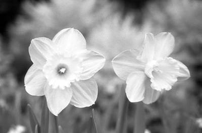 Photograph - Daffodils - Infrared 12 by Pamela Critchlow