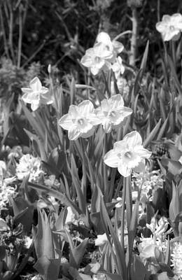 Photograph - Daffodils - Infrared 13 by Pamela Critchlow