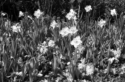 Photograph - Daffodils - Infrared 14 by Pamela Critchlow