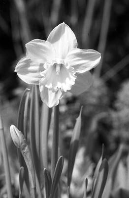 Photograph - Daffodils - Infrared 15 by Pamela Critchlow
