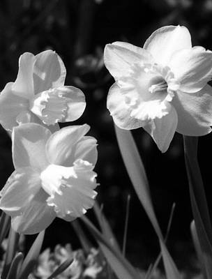 Photograph - Daffodils - Infrared 19 by Pamela Critchlow