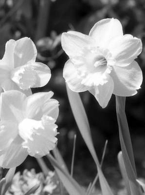 Photograph - Daffodils - Infrared 20 by Pamela Critchlow