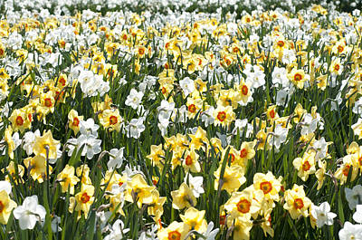 Art Print featuring the photograph Daffodils by Lana Enderle