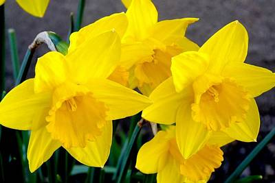 Photograph - Daffodils by Marilyn Burton