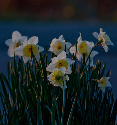 Farmhouse Royalty Free Images - Daffodils Royalty-Free Image by Melinda Fawver