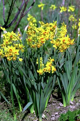Daffodils (narcissus 'soleil D'or') Art Print