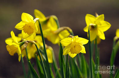 Spring Bulbs Photograph - Daffodils by Sharon Talson