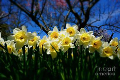 Traci Law Photograph - Daffodils by Traci Law