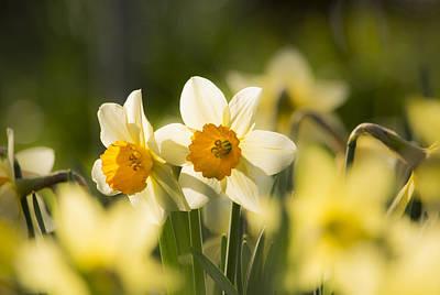 Photograph - Daffodils by Veli Bariskan