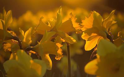 Daffodils Photograph - Daffs At Sunset by Chris Fletcher