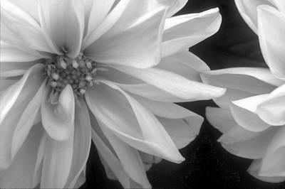 Photograph - Dahila-bw  by Harold E McCray