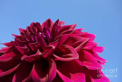 The Blue Dahlia Photograph - Dahlia #1 by Jacqueline Athmann