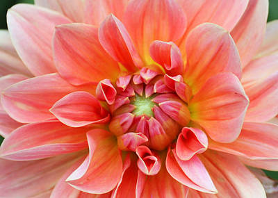 Art Print featuring the photograph Dahlia 2 by Gerry Bates