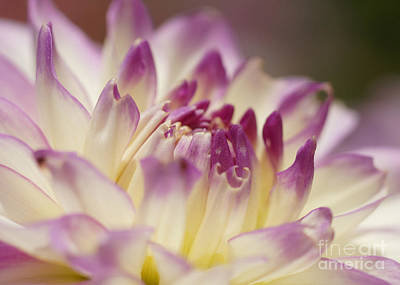 Art Print featuring the photograph Dahlia 2 by Rudi Prott