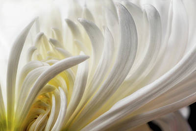Dahlia Wall Art - Photograph - Dahlia 5 by David Rothstein