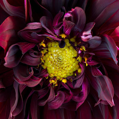 Photograph - Dahlia - A Study In Crimson by Kim Aston