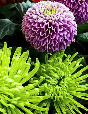 Pom Pom Photograph - Dahlia And Chrysanthemum 'shamrock' by Ian Gowland