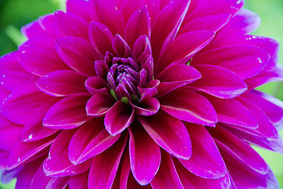 1-war Is Hell Royalty Free Images - Dahlia Royalty-Free Image by Barbara Blanchard