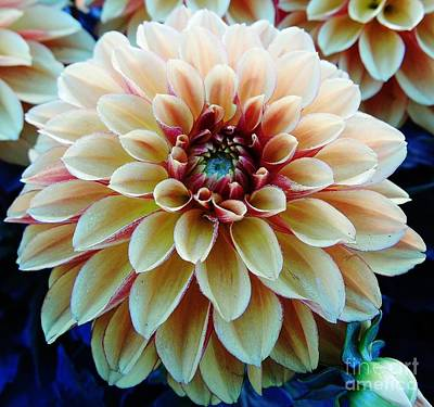 Moisture On Plants Photograph - Colorful - Dahlia - Beauty by D Hackett