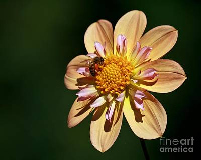 Photograph - Dahlia Bee 3 by Chris Anderson