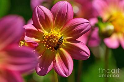 Photograph - Dahlia Bee by Chris Anderson