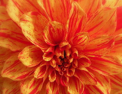 Photograph - Dahlia  by Brian Chase
