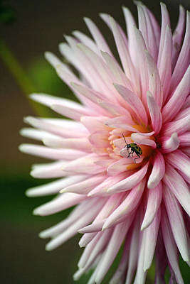 Photograph - Dahlia Bug by Chris Anderson