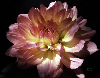 Color On Black Photograph - Dahlia Burst Of Pink And Yellow by Julie Palencia