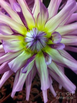 Photograph - Dahlia Burst by Susan Garren