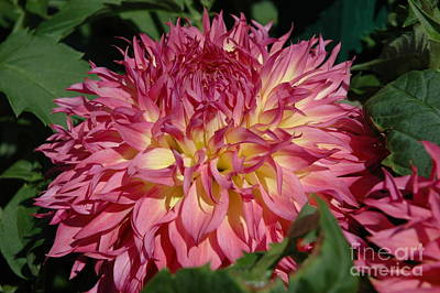 Art Print featuring the photograph Dahlia by Christiane Hellner-OBrien