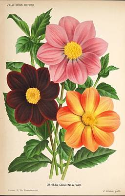 Dahlia Coccinea From A Begian Book Of Flora. Art Print by Philip Ralley