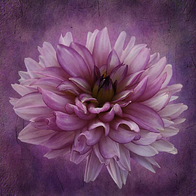 Dahlia Art Print by Cyndy Doty