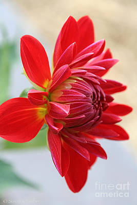 Photograph - Dahlia Day Opening by Susan Herber