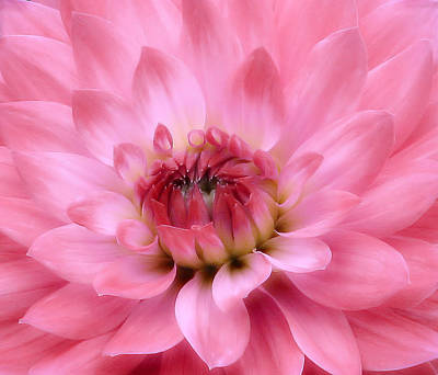 Photograph - Dahlia Dream In Pink by Rory Sagner