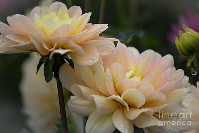 Photograph - Dahlia Dream by Patricia Babbitt